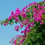 mot den rosa skyen för bougainvilleas Fotografering för Bildbyråer