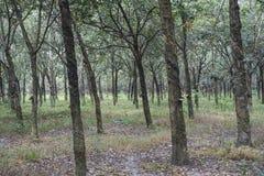 Mot efterkrav bunkar på gummiträd i en koloni i sydliga Vietnam fotografering för bildbyråer