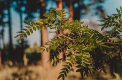 Mot en blå himmel och tjocka trädstammar en ensam filial med stora taggar av den lösa akacian suddighet bakgrund Skytte på ögat l royaltyfria bilder