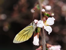 Mot en Nanking Cherry Flower Stock Afbeeldingen