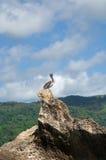 mot för pelikanrock för blå gray skyen Royaltyfri Bild
