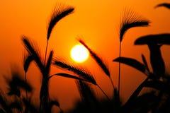 mot grässilhouettesolnedgång royaltyfri bild