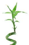 mot lycklig white för bambu arkivbilder