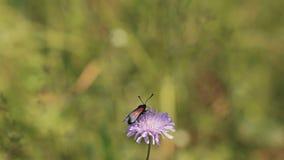 Mot op een bloem in een weide De warme Dag van de Zomer Het meisje raakt zacht de bloem stock footage