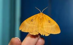 Mot op hand, mooie nachtvlinder op een vrouwelijke hand op een blauwe achtergrond Stock Afbeeldingen