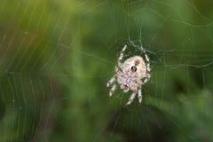 mot rengöringsduk för spindel för orb för lövverkgreen frodig arkivbild