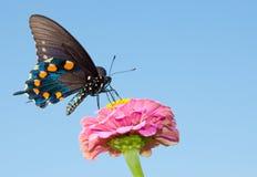 mot sk-swallowtail för blå green Royaltyfri Fotografi