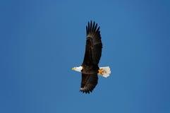 mot skalliga blåa den wild örnskyen Royaltyfri Foto