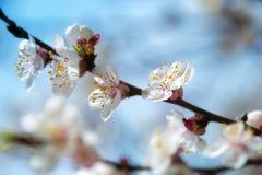 mot skyen för aprikosbakgrundsblomning Fotografering för Bildbyråer