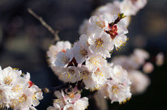 mot skyen för aprikosbakgrundsblomning royaltyfria foton