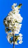 mot skyen för dof för blått Cherry för blomning den grunda Arkivfoto