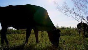 Mot solljus mörk översikt, konturn av en ko som betar på grön äng kon tuggar gräs Varm dag för sommar arkivfilmer