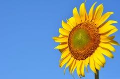 mot solrosen för blå sky Arkivbilder