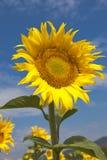 mot solrosen för blå sky fotografering för bildbyråer