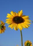 mot solrosen för blå sky royaltyfri fotografi