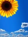 mot solrosen för blå sky arkivfoton
