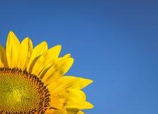 mot solrosen för blå sky Royaltyfri Bild