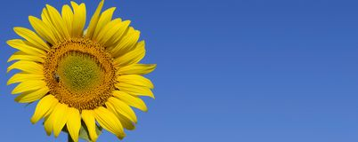 mot solrosen f?r bl? sky Solros p? en Sunny Day royaltyfria foton