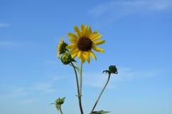 mot solrosor för blå sky arkivfoton