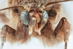 mot Sphingidae Royalty-vrije Stock Foto