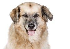 mot stor blandad white för bakgrundsavelhund Arkivfoton