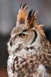 mot stor grå horned owl Royaltyfri Fotografi