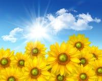 mot stora solrosor för blå sky Royaltyfri Bild