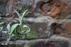 mot tegelstenmatris plantera väggen Arkivbilder