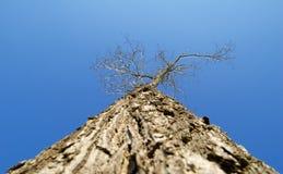 mot vinter för kronaskytree Arkivbilder