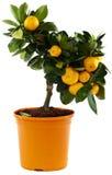 mot white för orange tree för bakgrund Arkivbild