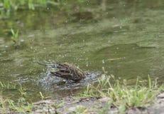 Motacilla in acqua, werae del Motacilla, ambiente naturale Immagini Stock Libere da Diritti