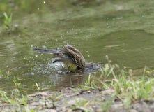 Motacilla in acqua, werae del Motacilla, ambiente naturale Immagine Stock