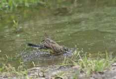 Motacilla in acqua, werae del Motacilla, ambiente naturale Fotografia Stock Libera da Diritti