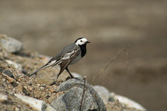 Motacilla alba. White wagtail just before cleaning himself Stock Image