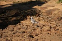 Motacilla alba Fotografía de archivo