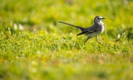Motacilla alba Alveola die Branca voedsel op een grasgebied zoeken stock fotografie