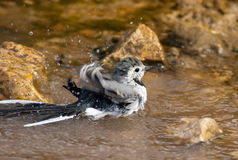 Motacilla alba, White Wagtail Stock Images