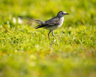 Motacilla Alveola alba Branca que procura o alimento em um campo de grama foto de stock royalty free
