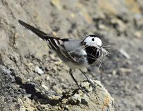 Motacilla blanco del Wagtail alba Imagenes de archivo