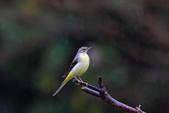 Motacilla cinerea, Grey Wagtail Royalty Free Stock Images