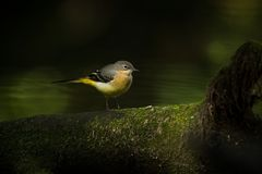 Motacilla cinerea. Wild nature. Photographed by Czech. Free nature. From bird life. Beautiful picture. Nature. Bird. Water and bird Royalty Free Stock Photo