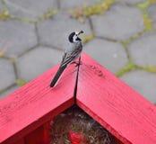 Motacilla con le mosche in suo becco, pronto ad alimentare il giovane nel nido Islanda, giugno fotografia stock