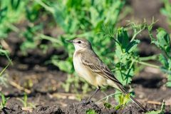 Motacilla flava on the ground. Motacilla flava stands on the ground next to the grass Royalty Free Stock Image