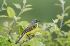 Motacilla flava on the ground. Motacilla flava stands on the ground next to the grass Royalty Free Stock Images