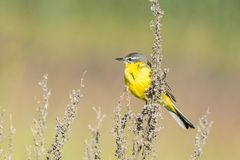 Motacilla flava on the ground. Motacilla flava stands on the ground next to the grass Royalty Free Stock Photo