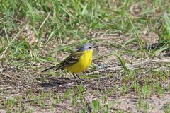 Motacilla flava. The male yellow Wagtails in the grass. Motacilla flava. The male yellow Wagtail on a summer day in Siberia Stock Photos