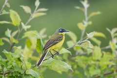 Motacilla flava on the ground. Motacilla flava stands on the ground next to the grass Royalty Free Stock Photography