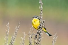 Motacilla flava on the ground. Motacilla flava stands on the ground next to the grass Stock Images