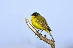 motacilla flava wagtail κίτρινο Στοκ Φωτογραφίες