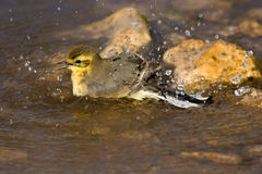 Motacilla flava, Yellow Wagtail Stock Images